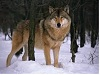 thewolf135